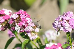 Hummingbird hawk moth. And beautiful flower stock photo