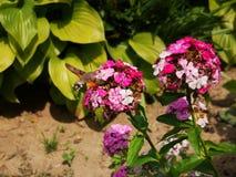 Hummingbird hawk moth. And beautiful flower royalty free stock image