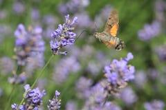 Hummingbird hawk-moth. In flight at lavender royalty free stock images