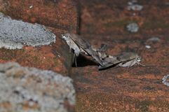 Hummingbird hawk moth. Having sex stock image