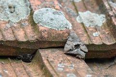 Hummingbird hawk moth. Having sex stock images