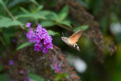 Hummingbird Hawk-moth Stock Photos