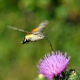 Hummingbird hawk-moth (Macr Royalty Free Stock Photography