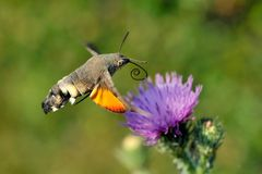 Hummingbird hawk-moth (Macr Stock Photos