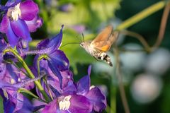Hummingbird hawk-moth Macroglossum stellatarum.  Royalty Free Stock Image