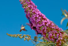 Hummingbird hawk-moth. A hummingbird hawk-moth (Macroglossum stellatarum) drinks nectar out of a flower in a garden during the summer Royalty Free Stock Images