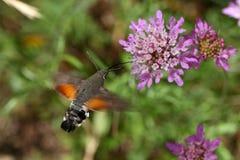 Hummingbird hawk-moth (Macroglossum stellatarum). A hummingbird hawk-moth (Macroglossum stellatarum) flying and drinking on a flower royalty free stock photos