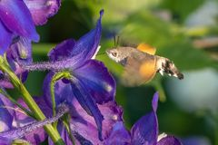 Hummingbird hawk-moth Macroglossum stellatarum.  Stock Photography