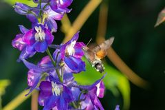 Hummingbird hawk-moth Macroglossum stellatarum.  Royalty Free Stock Photography