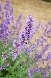 Hummingbird Hawk-Moth - Macroglossum stellatarum Royalty Free Stock Photos