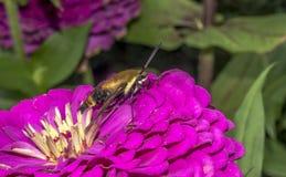 Hummingbird hawk-moth,Macroglossum stellatarum Stock Images