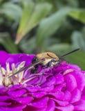 Hummingbird hawk-moth,Macroglossum stellatarum Stock Photo