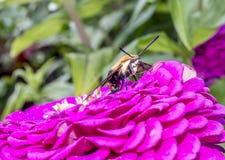 Hummingbird hawk-moth,Macroglossum stellatarum Royalty Free Stock Photos