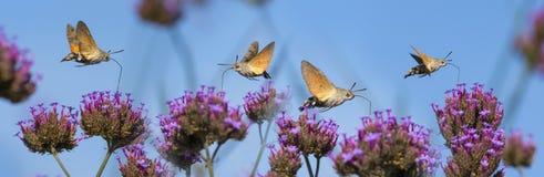Hummingbird Hawk Moth Macroglossum stellatarum sucking nectar from flower Royalty Free Stock Images