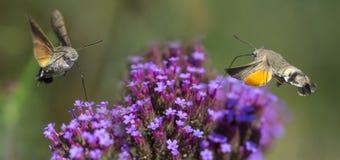 Hummingbird Hawk Moth Macroglossum stellatarum sucking nectar from flower Stock Image