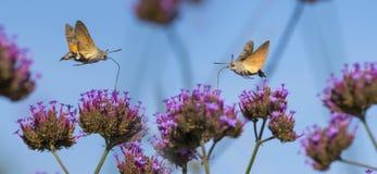 Hummingbird Hawk Moth Macroglossum stellatarum sucking nectar from flower Royalty Free Stock Photo