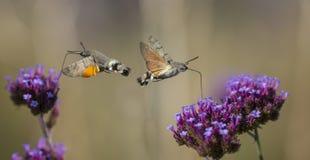 Hummingbird Hawk Moth Macroglossum stellatarum sucking nectar from flower Stock Images