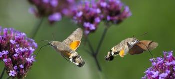 Hummingbird Hawk Moth Macroglossum stellatarum sucking nectar from flower Stock Photos