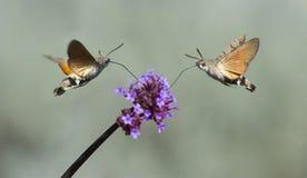 Hummingbird Hawk Moth Macroglossum stellatarum sucking nectar from flower Royalty Free Stock Image