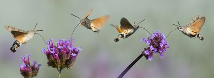 Hummingbird Hawk Moth Macroglossum stellatarum sucking nectar from flower Royalty Free Stock Photography