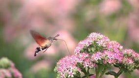 Hummingbird hawk-moth stock video footage