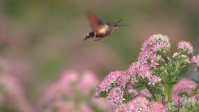 Hummingbird hawk-moth stock footage