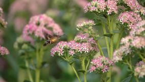 Hummingbird Hawk-moth stock video