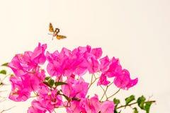 Hummingbird hawk moth in spain near pink bougainvillea flowers stock photos