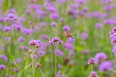 Hummingbird hawk moth sucking nectar from Verbena bonariensis fl Royalty Free Stock Images