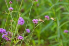 Hummingbird hawk moth sucking nectar from Verbena bonariensis fl Royalty Free Stock Photos