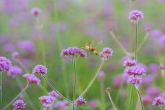 Hummingbird hawk moth sucking nectar from Verbena bonariensis fl Royalty Free Stock Photo
