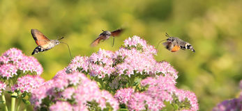 Hummingbird hawk-moth Royalty Free Stock Photography
