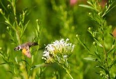 Hummingbird Hawkmoth łasowanie zdjęcie stock