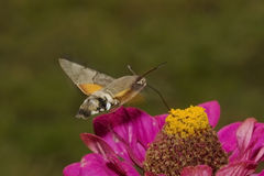 hummingbird hawkmoth Стоковые Изображения