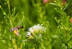 Hummingbird Hawkmoth Eating stock photo