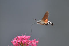 Hummingbird Hawkmoth. Feeding from a flower Stock Image