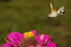 Hummingbird Hawkmoth  in flight Royalty Free Stock Images