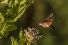 Hummingbird hawkmoth (Macroglossum stellatarum) Royalty Free Stock Photos