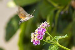 Hummingbird Hawkmoths (Macroglossum stellaturum) Stock Photo
