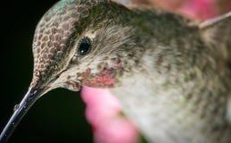 Hummingbird head shot. This is a photograph of a hummingbird`s head shot stock images
