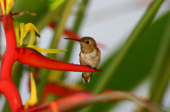 Hummingbird on Heliconia royalty free stock photo