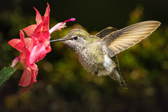 Hummingbird and her favorite red flower. This is a female hummingbird and her favorite red flower Stock Image