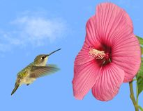 Hummingbird at a Hibiscus Flower. A female Ruby- throated Hummingbird (Archilochus colubris) at a large, pink Hibiscus flower with blue sky in the background Stock Image
