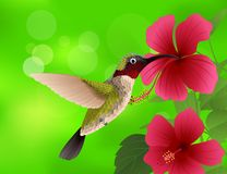 Hummingbird with hibiscus flower Royalty Free Stock Image