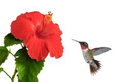 Hummingbird at a Hibiscus Flower Royalty Free Stock Photo