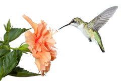 Hummingbird and Hibiscus. With its wings stopped and frozen in mid air; a ruby throated hummingbird hovers over a fully bloomed hibiscus in search of pollen and stock image