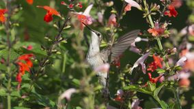 Hummingbird almost hidden by the Sage royalty free stock photos