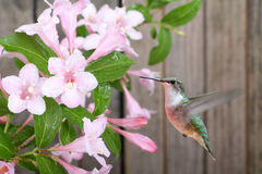 Hummingbird and Honeysuckle Royalty Free Stock Images