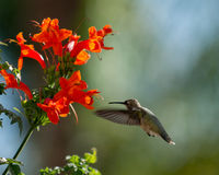 Hummingbird with Honeysuckle. A hummingbird hovering near a honeysuckle plant with a blurry background royalty free stock photos