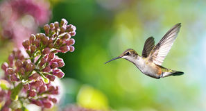 Hummingbird hover in mid-air in the garden panoramic view Royalty Free Stock Images